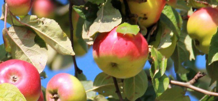 Obstkeltern und Apfelverkauf in der Apfelscheune ab 04.10.2019