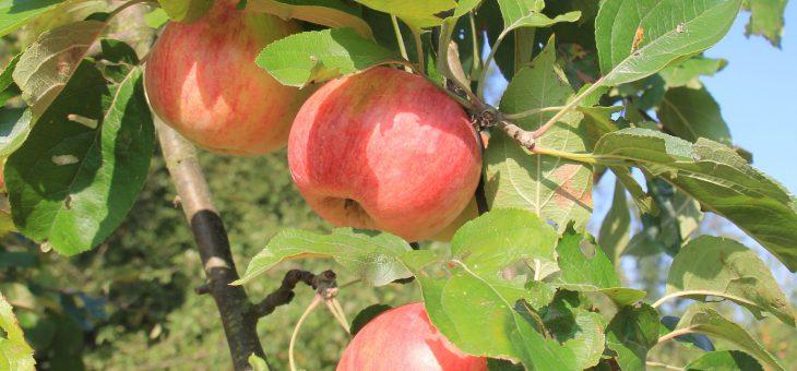 Meine Geschichten mit alten Apfelsorten