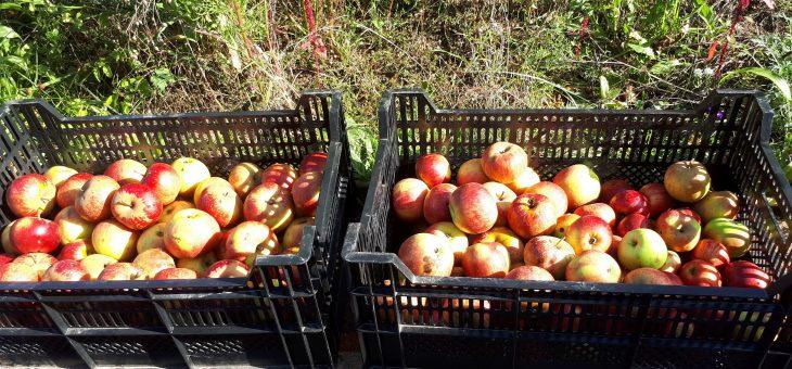 Obstkeltersaison und Apfelverkauf hat begonnen