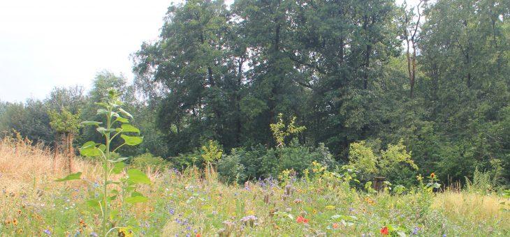 Zweite Schmetterlingsblumenwiese auf dem Grundstück angelegt