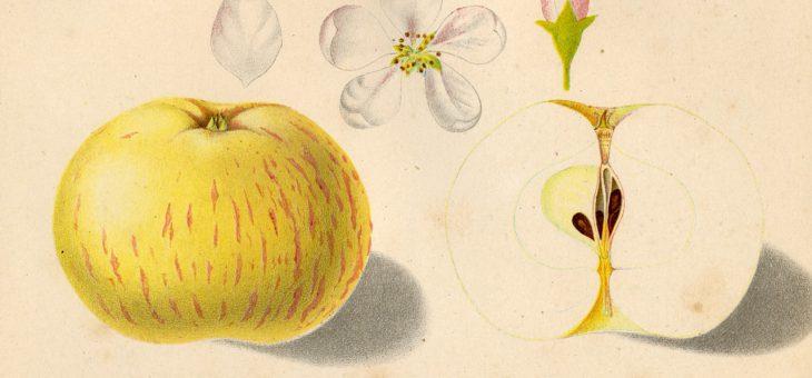 Weitere seltene alte Apfelsorten für die Herbstpflanzung auf meinem Grundstück